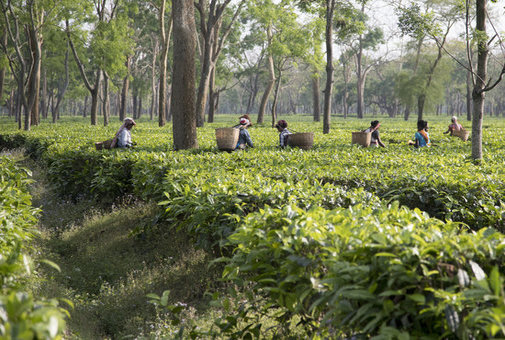 UK companies can help break the cycle of poverty wages on Assam's tea plantations