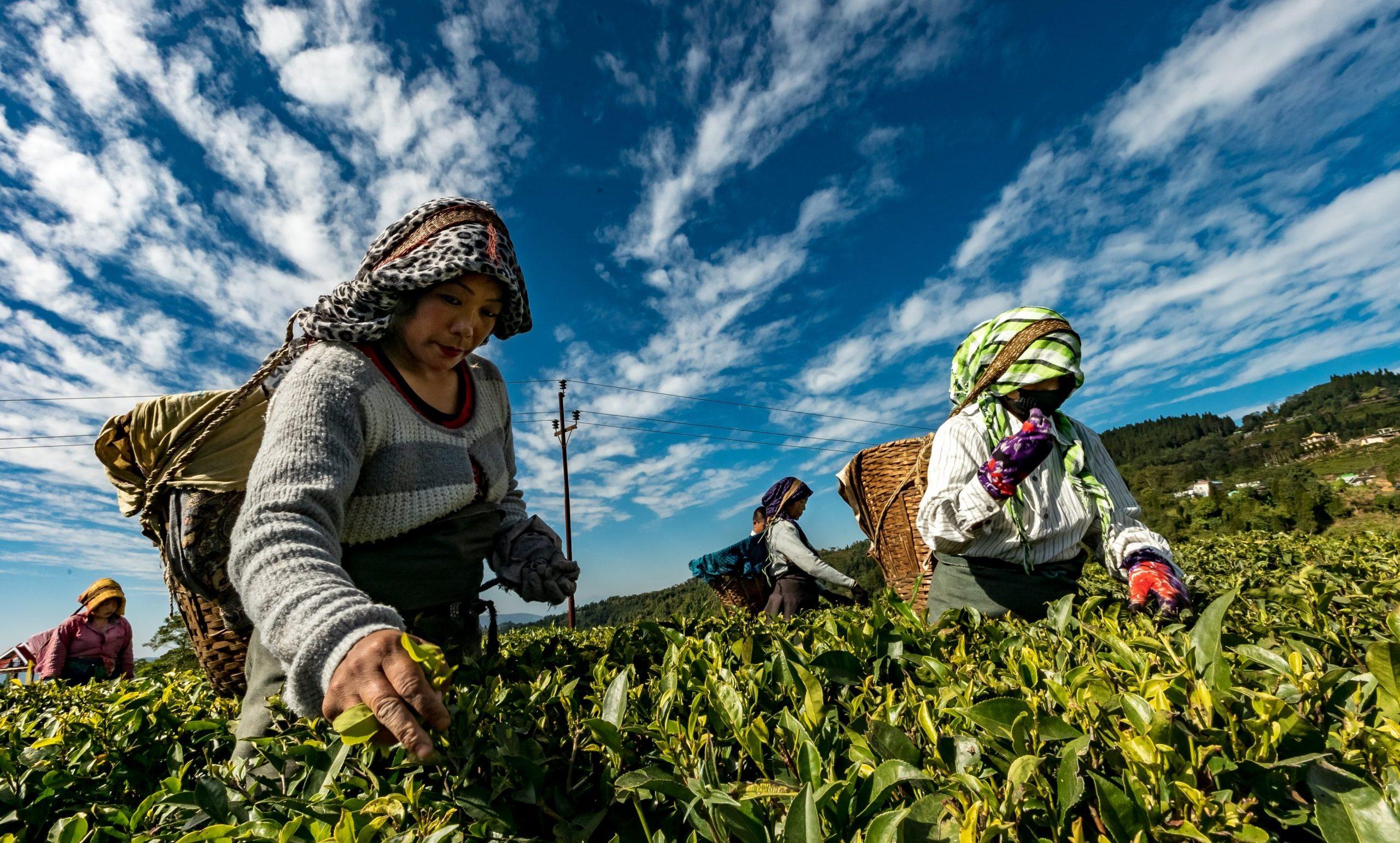 female plant pickers in Singapre